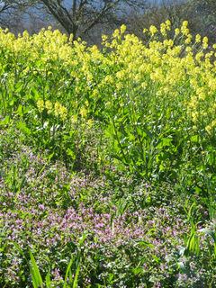 Vetch and mustard 600