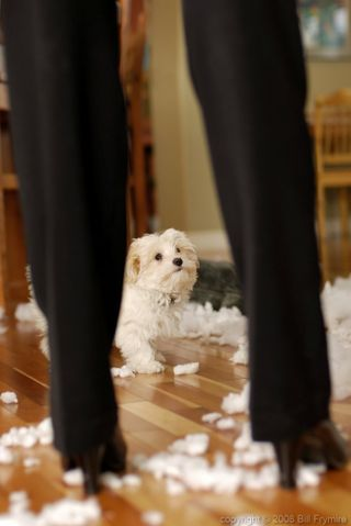 Bad-puppy-left-alone-mess-1000