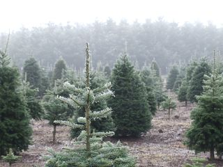 Christmas Trees in Fog